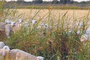 Massa Organics goats and rice field