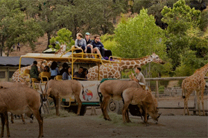 On safari at Safari West