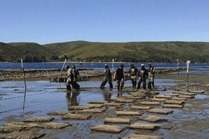 Tomales Bay Oyster Co. beds